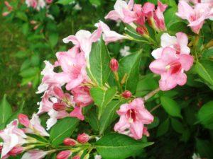 photo d'un weigela florida pink princess