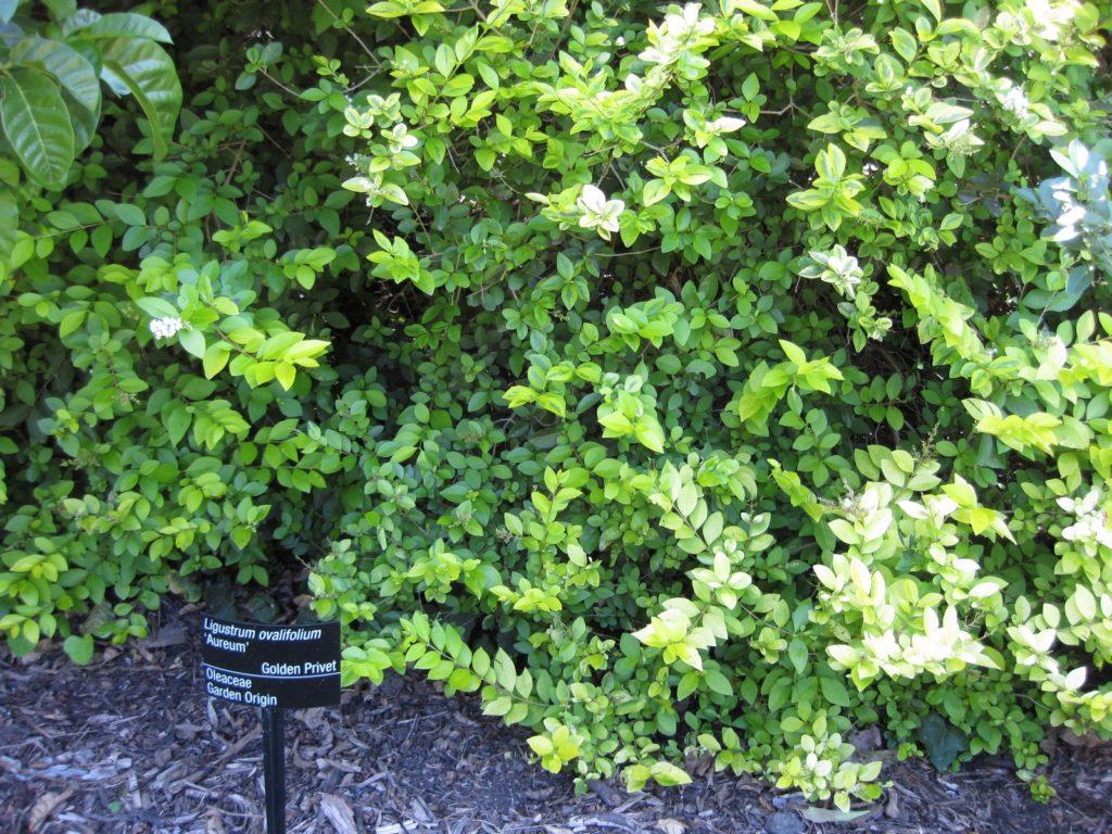 plant de Troène doré
