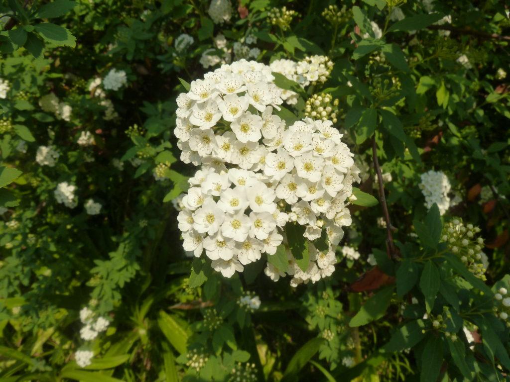 photo d'un plant de spirée snowmound