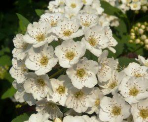 photo des fleurs de la spirée snowound