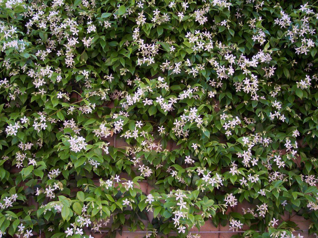 plant de faux-jasmin