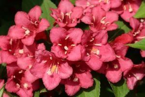 fleurs du weigela bristol ruby