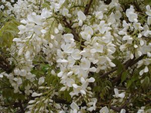fleurs du wisteria sinensis alba